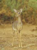 Guenther's Dik-Dik, Madoqua Guentheri, Samburu, Kenya, Africa Lámina fotográfica por Adam Jones