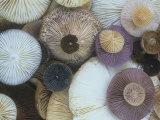 Mushroom Cap Assortment Showing their Gills Lámina fotográfica por Gary Meszaros