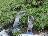 Blue-Footed Boobies Courtship Display, Sula Nebouxi, Galapagos Impressão fotográfica por Gerald & Buff Corsi