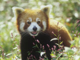 Red Panda (Ailurus Fulgens) an Endangered Species, Himalayas Lámina fotográfica por Adam Jones