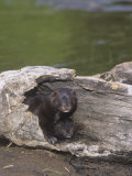 Mink and its Young in a Hollow Den Tree, Mustela Vision, North America Lámina fotográfica por Jack Michanowski