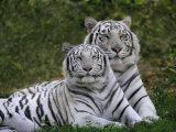 White Bengal Tigers, Panthera Tigris, Asia Fotografisk trykk av Adam Jones
