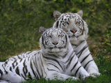 White Bengal Tigers, Panthera Tigris, Asia Exklusivt fotoprint av Adam Jones