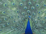 Male Peacock Courtship Display (Pavo Cristatus) Impressão fotográfica premium por Steve Maslowski