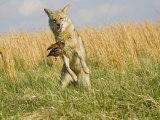 Coyote (Canis Latrans) Capturing Bobwhite Quail Prey, North America Reproduction photographique par Steve Maslowski