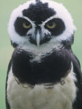 Spectacled Owl Head, Pulsatrix Perspicillata, Central and South America Photographic Print by Gary Randall