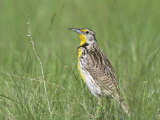 Western Meadowlark in Prairie Grasses (Sturnella Neglecta), North America Reproduction photographique par Steve Maslowski
