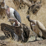 Ruppell's Griffon Vulture (Gyps Rueppellii) and Marabou Stork (Leptoptilos Crumeniferus Reproduction photographique