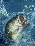 Largemouth Bass Diving for Lure Photographic Print by Wally Eberhart