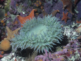 Anthopleura.Giant Sea Anemone in Tide Pool with Other Life. Lámina fotográfica por Daniel W. Gotshall