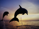 Bottlenose Dolphins Leaping Out of the Water at Twilight (Tursiops Truncatus) Lámina fotográfica por Marty Snyderman
