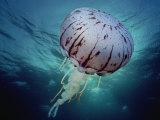 Purple Stripe Jellyfish, Pelagia Colorata, Pacific Grove, California Lámina fotográfica por David Wrobel