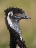 Emu, Dromaius Novaehollandiae, Australia Reproduction photographique par Adam Jones