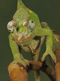 Usambara 3-Horn Chameleon, Chamaeleo Deremensis Fotografie-Druck von Jack Michanowski