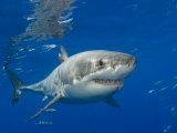 Great White Shark (Carcharodon Carcharias), Guadalupe Island, Mexico Fotografie-Druck von David Fleetham