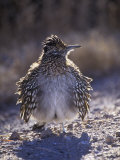 Roadrunner Sunbathing, Geococcyx Californianus, Western North America Reproduction photographique par Arthur Morris