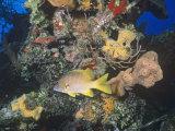 Schoolmaster Snapper (Lutjanus Apodus) Among Corals, Caribbean Photographic Print by Joan Richardson