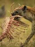 Spotted Hyena, Crocuta Crocuta, Carrying a Skeleton from a Kill, East Africa Lámina fotográfica por Joe McDonald