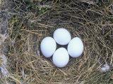 Eastern Phoebe Nest with Four Eggs (Sayornis Phoebe), Eastern North America Fotografisk trykk av Wally Eberhart