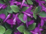 Fringed Polygala or Gaywings, Polygala Paucifolia, North America Fotoprint av John & Barbara Gerlach