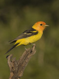 Western Tanager Male (Piranga Ludoviciana) on a Snag, Western North America Reproduction photographique par Charles Melton