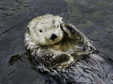 California Sea Otter (Enhydra Lutris), California, USA Photographic Print by David Fleetham