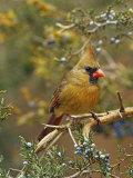 A Female Northern Cardinal (Cardinalis Cardinalis) in Red Cedar, Eastern North America Impressão fotográfica por Steve Maslowski