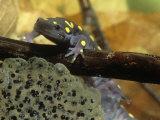 Spotted Salamander in a Vernal Pool with Eggs, Ambystoma Maculatum, . Northeastern USA Fotografie-Druck von Gustav W. Verderber