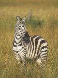 Burchell's or Common Zebra, Equus Burchellii, Masai Mara, Kenya, Africa Fotoprint av John & Barbara Gerlach