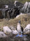 A Blue-Footed Booby (Sula Nebouxii), Galapagos Islands, Ecuador Reproduction photographique par John & Barbara Gerlach