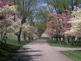 Pink and White Dogwood Trees in Bloom Along a Fenced Road, Lexington, Kentucky, USA Premium fotografisk trykk av Adam Jones