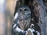 Barred Owl (Strix Varia) in a Hollow of a Maple Tree (Acer). North America Impressão fotográfica por Steve Maslowski