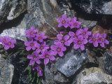 Scamman's Spring Beauty (Claytonia Scammaniana) in the High Alpine Tundra of Alaska, USA Fotografisk trykk av Hugh Rose