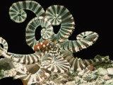 Banded Octopus (Octopus Horridus), Indian Ocean Photographic Print by Alex Kerstitch