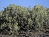 Sagebrush, Artemisia Tridentata, the Nevada State Flower, USA Photographic Print by Gary Will