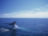 Blue Whale Diving with Only its Fluke Visible (Balaenoptera Musculus) Reproduction photographique par Tom Walker