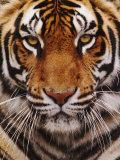 Bengal Tiger Face, Panthera Tigris, Asia Fotografisk tryk af Adam Jones