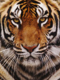 Bengal Tiger Face, Panthera Tigris, Asia Fotoprint av Adam Jones