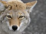 Coyote (Canis Latrans) Fotografie-Druck von Tom Walker