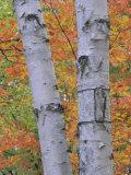 White Birch Forest in Autumn, Betula Papyrifera, Eastern USA Fotoprint av John & Barbara Gerlach