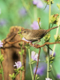 House Wren (Troglodytes Aedon), Eastern North America Reproduction photographique par Steve Maslowski