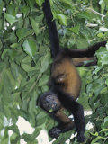 Mantled Howler Monkey Feeding on Vegetation, Alouatta Palliata, Costa Rica Fotografie-Druck von Gustav W. Verderber