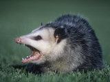 Opossum Showing its Teeth (Didelphis Marsupialis), USA Fotografie-Druck von Gary Randall
