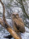 Great Horned Owl Young or Owlet, Bubo Virginianus, Arizona, USA Fotoprint av John & Barbara Gerlach