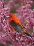A Male Scarlet Tanager, Piranga Olivacea, in a Flowering Redbud Tree, Eastern USA Reproduction photographique par Adam Jones
