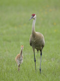 Sandhill Crane, Grus Canadensis, Parent with Chick, North America Photographic Print by Arthur Morris