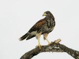 Juvenile Harris's Hawk, Parabuteo Unicinctus, Western USA Stampa fotografica di John Cornell