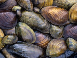 Freshwater Mussels from the Ohio River Drainage, USA Fotografisk tryk af Gary Meszaros