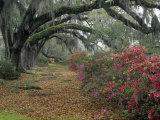 Live Oaks, Quercus Virginiana, and Azaleas, Magnolia Plantation Fotografisk trykk av Adam Jones