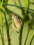 Least Bittern, Ixobrychus Exilis, . USA Reproduction photographique par John Cornell
